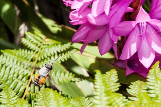 Philoliche aethiopica foraging on Watsonia densiflora