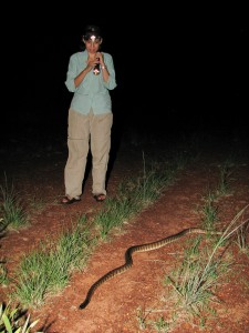 Tablelands Hwy denizen with biologist for scale - Black-headed python